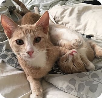Domestic Shorthair Kitten for adoption in Los Angeles, California - Walker