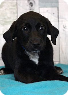 Labrador Retriever Mix Puppy for adoption in Waldorf, Maryland - Wesson