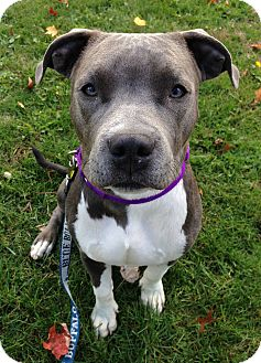 Pit Bull Terrier/Staffordshire Bull Terrier Mix Puppy for adoption in Sharon Center, Ohio - Zeke
