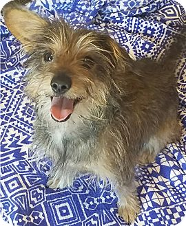 Dachshund/Terrier (Unknown Type, Small) Mix Dog for adoption in Las Vegas, Nevada - CODY KISS