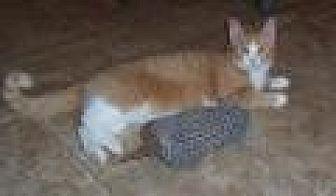 Domestic Shorthair Cat for adoption in Stuart, Virginia - Amos