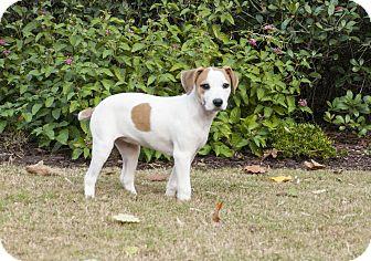 Pointer Mix Puppy for adoption in Woodstock, Georgia - Annie