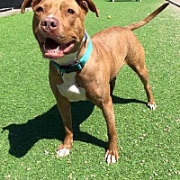 American Pit Bull Terrier/Vizsla Mix Dog for adoption in St. Clair Shores, Michigan - Apricot