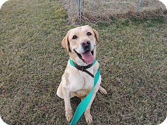 Labrador Retriever Mix Dog for adoption in Sullivan, Missouri - Ian