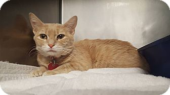 Domestic Shorthair Cat for adoption in Fort Riley, Kansas - Layla
