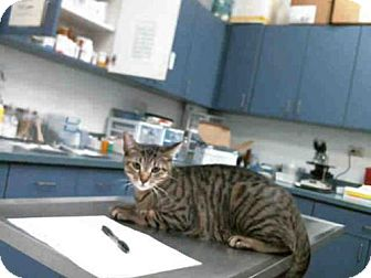 Bengal Cat for adoption in Tulsa, Oklahoma - BENTLY