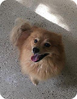 Pomeranian Dog for adoption in Tampa, Florida - Coco
