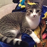 Adopt A Pet :: Twilight Sparkle - Sterling Heights, MI