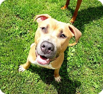 Terrier (Unknown Type, Medium)/American Pit Bull Terrier Mix Dog for adoption in Belleville, Michigan - Titus