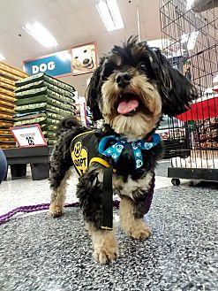 Terrier (Unknown Type, Small)/Maltese Mix Dog for adoption in San Dimas, California - Duke