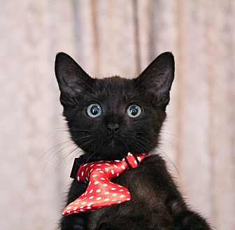 Bombay Kitten for adoption in Los Angeles, California - Bagheera