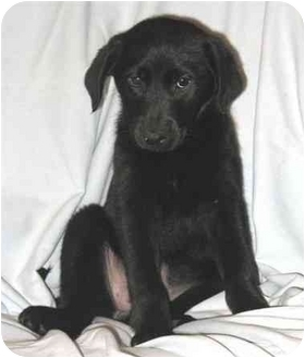 Labrador Retriever/Border Collie Mix Puppy for adoption in Seattle c/o Kingston 98346/ Washington State, Washington - Marsupial Litter-Wallaby