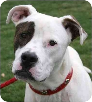 Pit Bull Terrier Mix Dog for adoption in Phoenix, Oregon - Donor