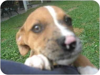 Boxer/Australian Shepherd Mix Puppy for adoption in Bel Air, Maryland - Misses