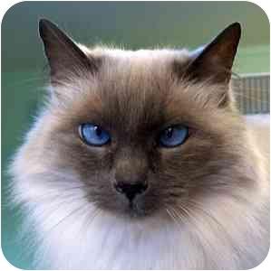 Himalayan Cat for adoption in Salt Lake City, Utah - Fiona