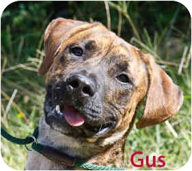 American Pit Bull Terrier Mix Dog for adoption in Clarkesville, Georgia - Gus