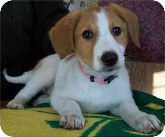 Labrador Retriever/Collie Mix Puppy for adoption in North Judson, Indiana - Angel