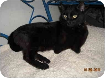 Domestic Shorthair Cat for adoption in Talbott, Tennessee - Ceasar