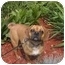 Photo 1 - Pug/Beagle Mix Dog for adoption in Ortonville, Michigan - Suki