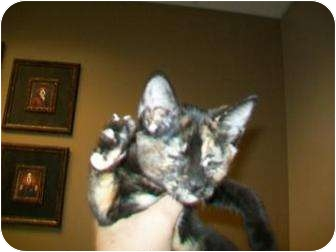 Domestic Shorthair Cat for adoption in Munster, Indiana - Casey