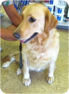 Golden Retriever Dog for adoption in New Canaan, Connecticut - Lady
