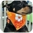 Photo 3 - Miniature Pinscher Dog for adoption in El Cajon, California - CODY