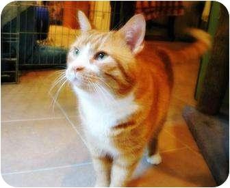 Domestic Mediumhair Cat for adoption in Columbia, Maryland - Soda L'Orange