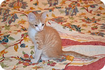 Domestic Shorthair Kitten for adoption in Houston, Texas - Rusty (so sweet)