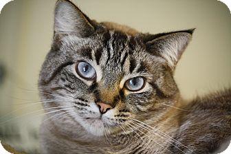 Siamese Cat for adoption in Columbus, Ohio - Tigger