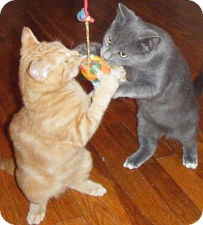 Domestic Shorthair Kitten for adoption in Kensington, Maryland - Dusty & Rusty