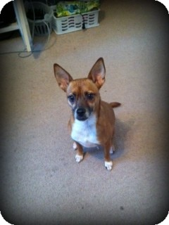 Terrier (Unknown Type, Small) Mix Dog for adoption in Weatherford, Texas - Lucy