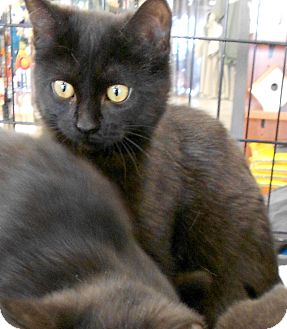 Domestic Shorthair Cat for adoption in Troy, Michigan - Kain