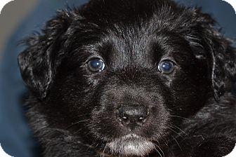 Labrador Retriever Mix Puppy for adoption in Sacramento, California - Becky's Girls