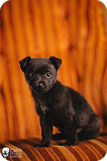 Terrier (Unknown Type, Small)/Chihuahua Mix Puppy for adoption in Portland, Oregon - Rocky