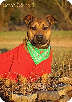 American Pit Bull Terrier/Welsh Corgi Mix Dog for adoption in Albany, New York - Bonnie aka Stubby