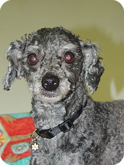 Poodle (Toy or Tea Cup) Mix Dog for adoption in Anchorage, Alaska - Wally
