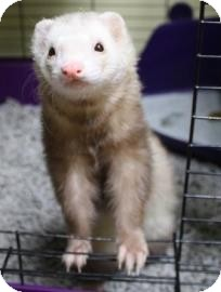 Ferret for adoption in West Des Moines, Iowa - Ty