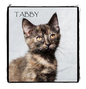Domestic Mediumhair Kitten for adoption in Warren, Pennsylvania - Tabby