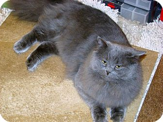 Persian Cat for adoption in Colorado Springs, Colorado - Smokey