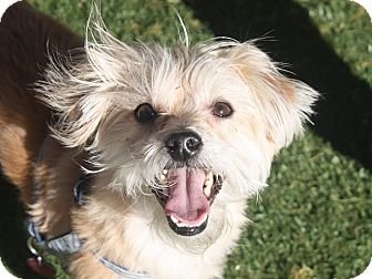 Australian Terrier/Terrier (Unknown Type, Small) Mix Dog for adoption in Henderson, Nevada - Bumble