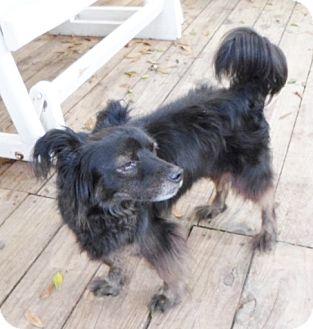 Papillon Mix Dog for adoption in Umatilla, Florida - Gordo