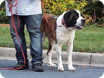 St. Bernard Dog for adoption in Pittsburgh, Pennsylvania - Bella