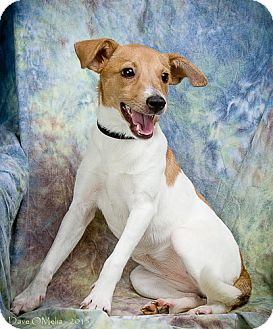 Jack Russell Terrier Mix Puppy for adoption in Anna, Illinois - YO YO