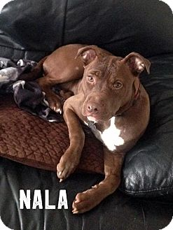 American Pit Bull Terrier Dog for adoption in Cary, Illinois - Nala