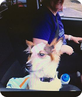 Australian Cattle Dog/Sheltie, Shetland Sheepdog Mix Puppy for adoption in Baltimore, Maryland - Catalina