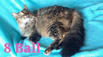 Domestic Longhair Cat for adoption in St. Louis, Missouri - 8 Ball (Courtesy Posting)