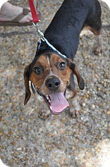 Beagle Mix Dog for adoption in Atlanta, Georgia - Tucker