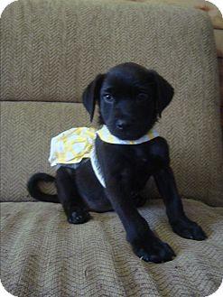 Australian Shepherd/Labrador Retriever Mix Puppy for adoption in Old Bridge, New Jersey - Lucinda