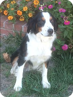 Australian Shepherd Dog for adoption in San Pedro, California - WILLIE