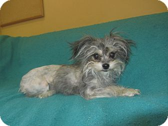 Yorkie, Yorkshire Terrier/Terrier (Unknown Type, Small) Mix Dog for adoption in Ridgway, Colorado - Cuddles